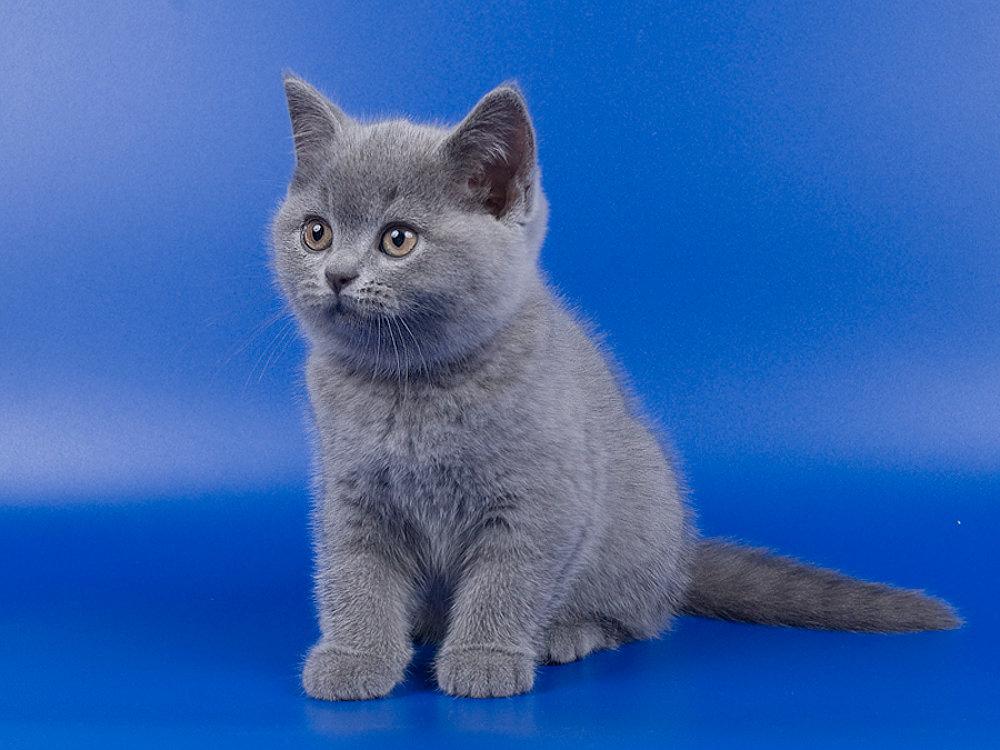 Британец котята фото