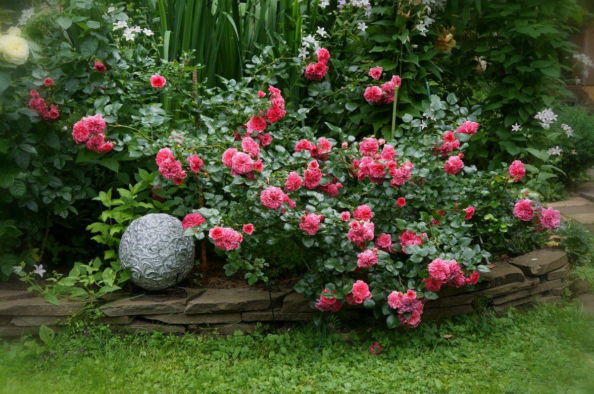 картинки роз в своем саду неглубокий надрез