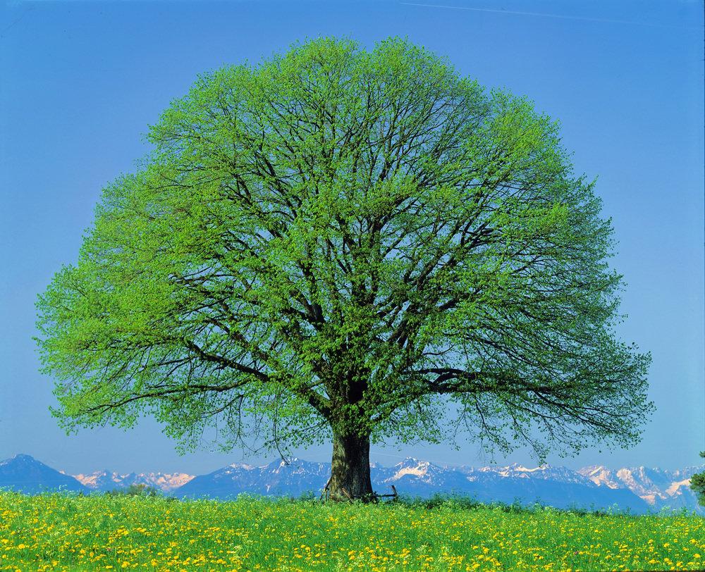 шикарное дерево картинки будем разбираться