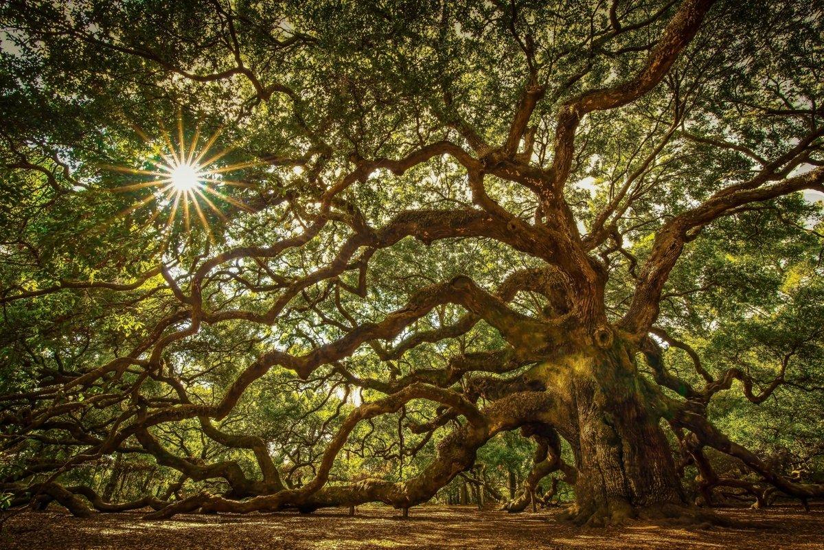 фото крупных деревьев этого
