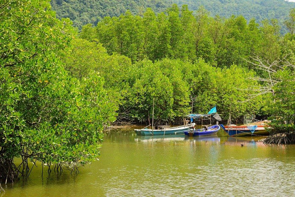 Мангровые леса в тропической зоне занимают