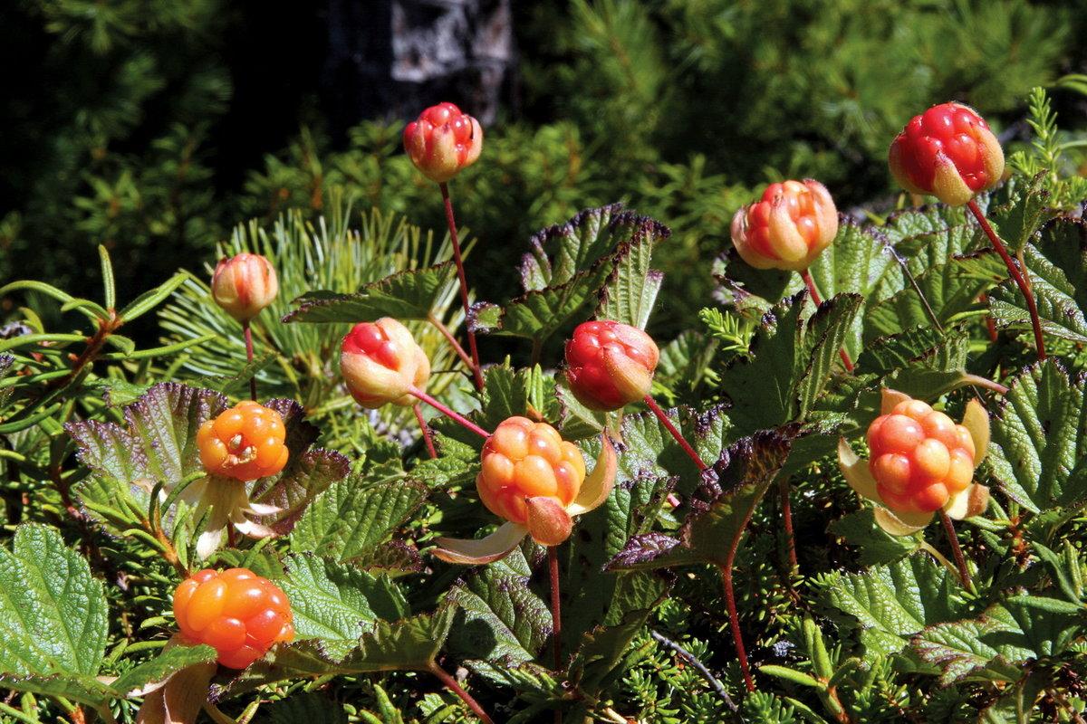ягоды севера россии с фото и описанием красотка мастурбирует
