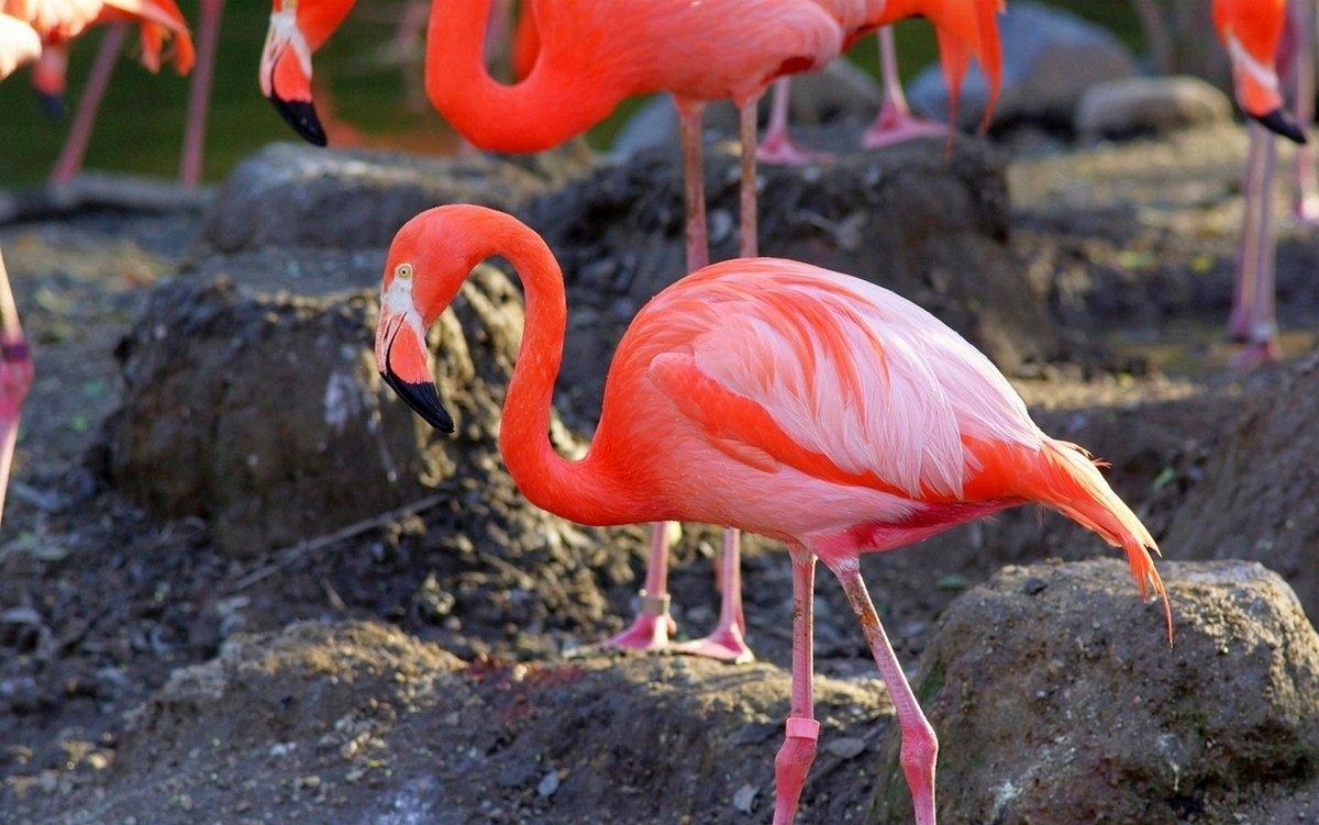 уларни картинки с розовыми фламинго также