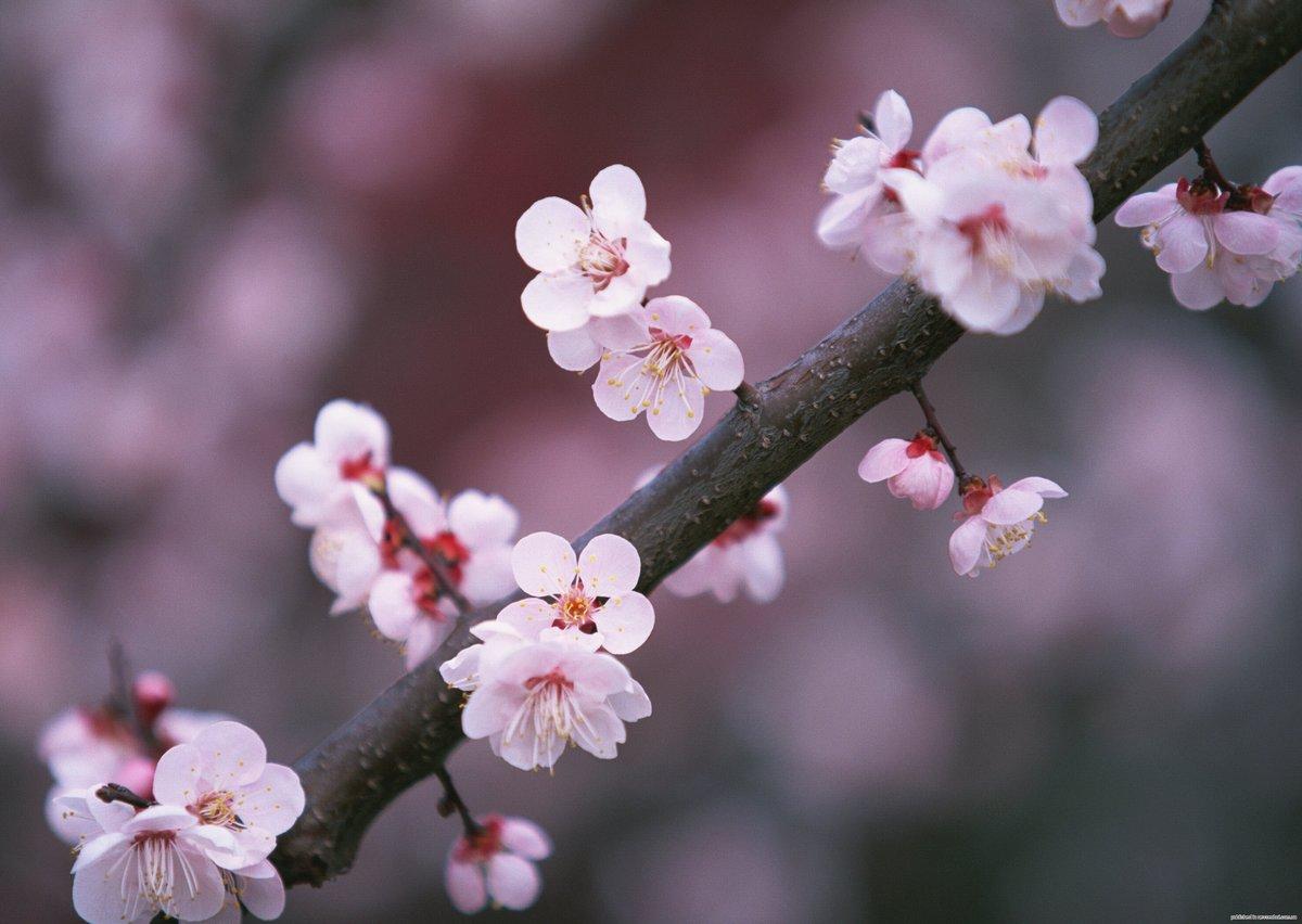 Картинки цветущая вишня для телефона, днем