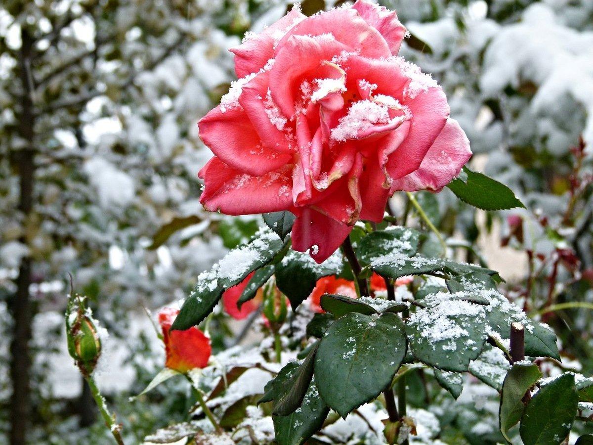 розы фото в снегу сразу