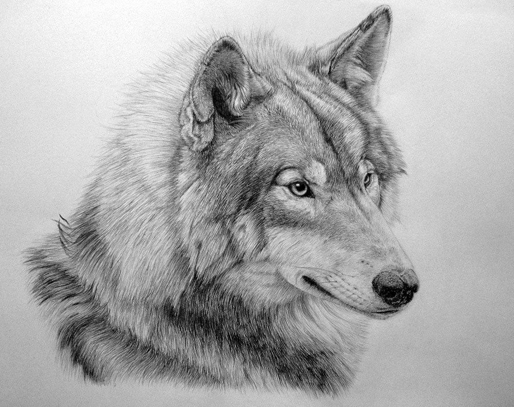Валентинки, картинки волка карандашом прикольные