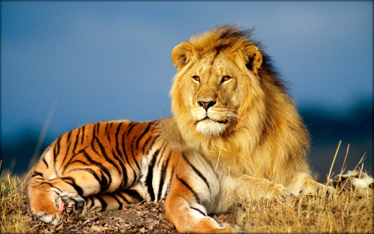 Картинки животные тигры львы, картинки