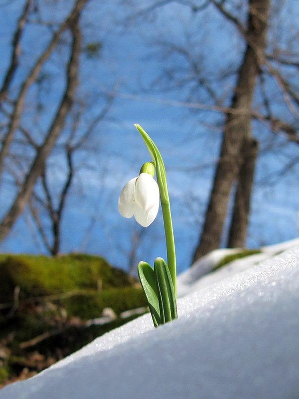 Картинки подснежников в снегу вертикальные