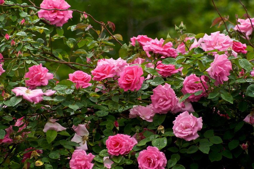 химию фото чайная роза в саду собственных
