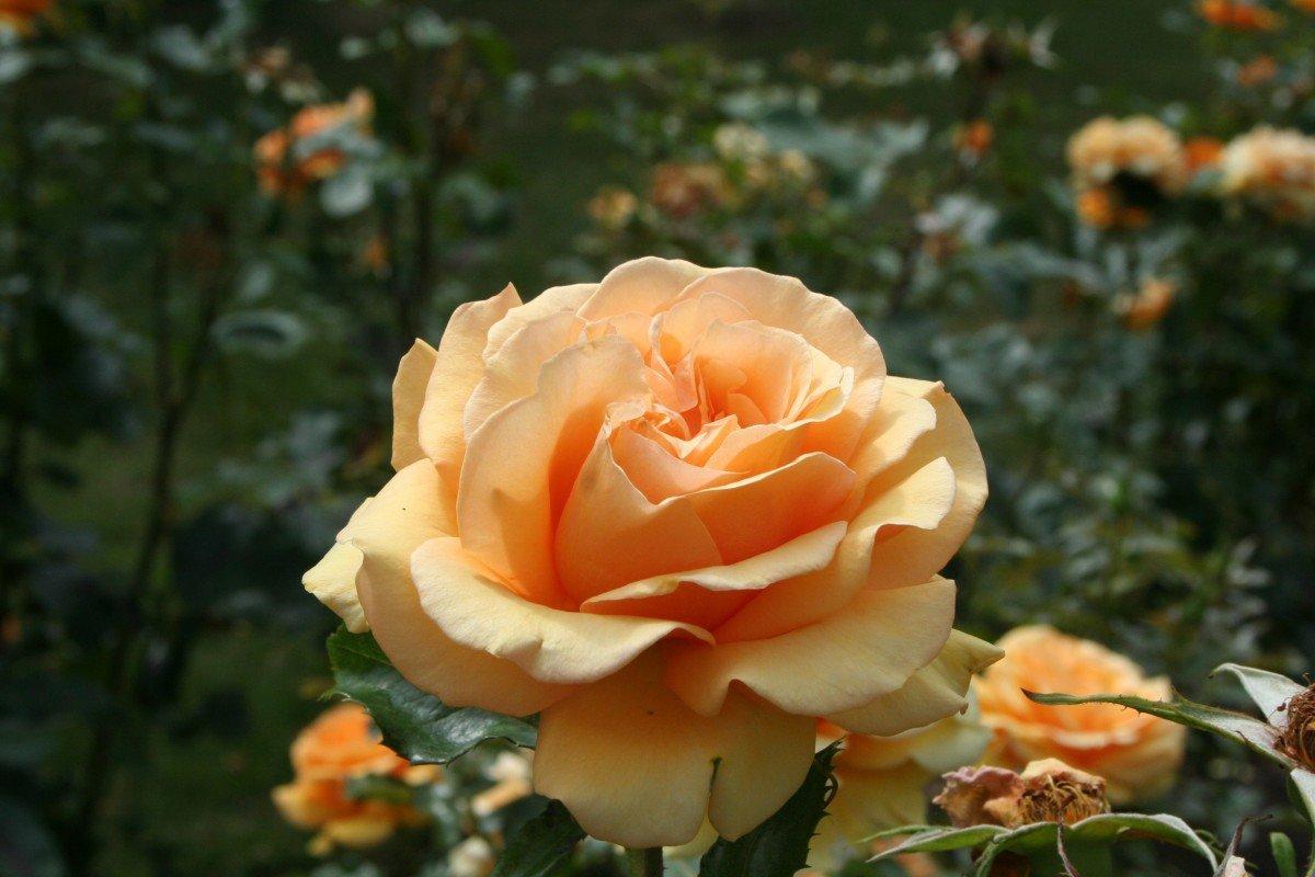 Львами день, красивые открытки чайная роза