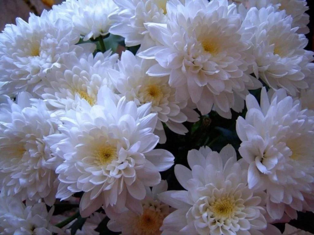 Нарисовать внутри, красивые открытки цветы хризантемы