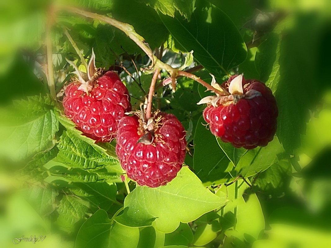 Картинки ягод природы