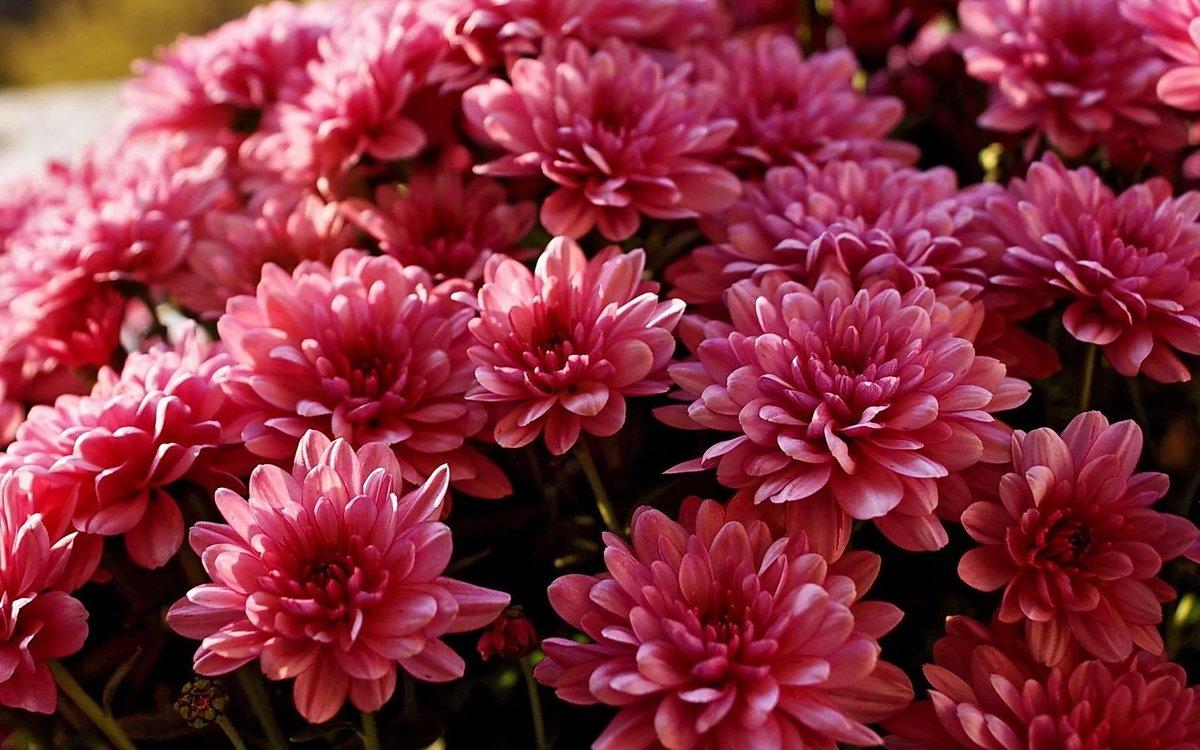 Картинки, картинки красивые хризантемы