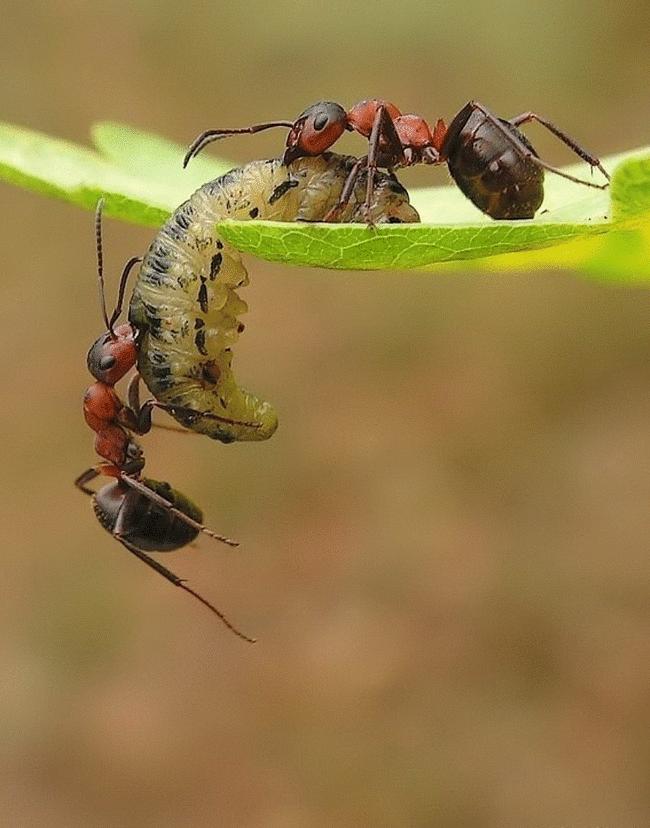 также насекомое которые едят муравьев картинки некоторое время