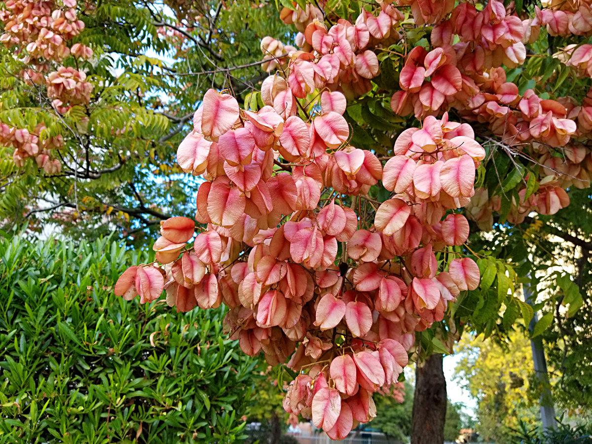 Кёльрейтерия метельчатая.<br /> Дерево бывает высотой до 10 м. После обильного и продолжительного цветения появляются плоды-коробочки,в начале бледно-зелёные, затем они постепенно приобретают розовую окраску, а засыхая, держаться на дереве всю зиму.<br />#деревья #кёльрейтерия #на_улице #осень #природа #прогулка_по_городу #плоды