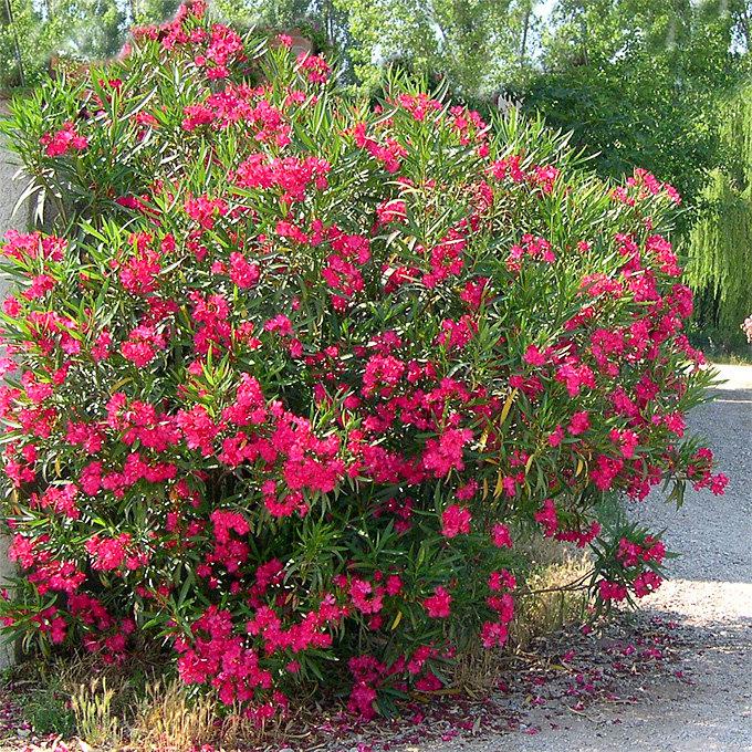 южные кустарники цветущие фото имеют яркий
