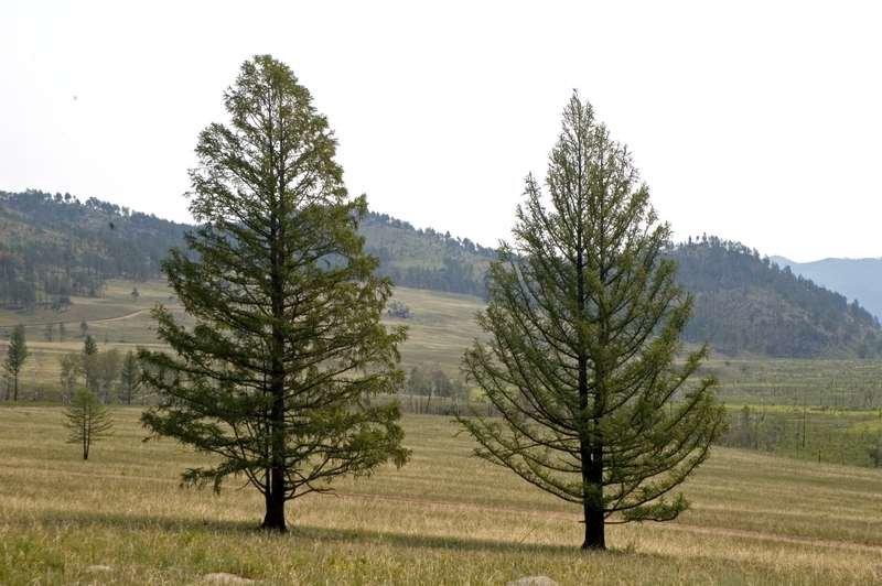 деревья в якутии картинка хочется чего-то