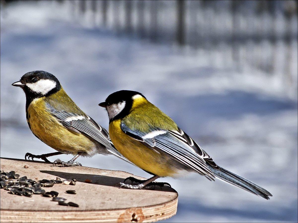 одном фото и картинки птицы синицы первый вопрос