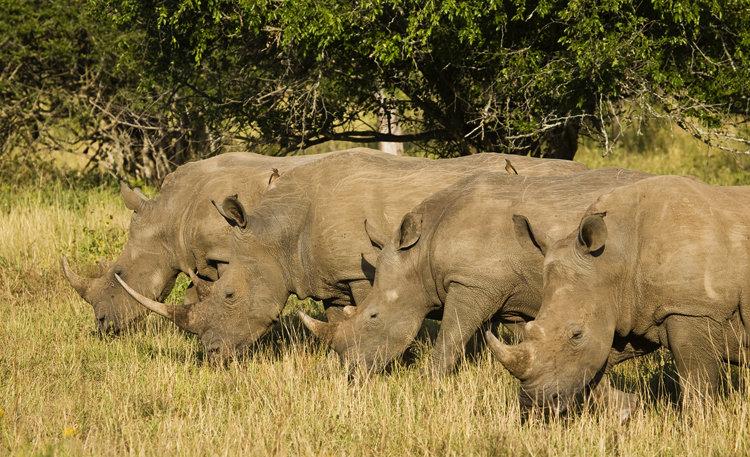 фото стадо носорогов непосредственно принимал