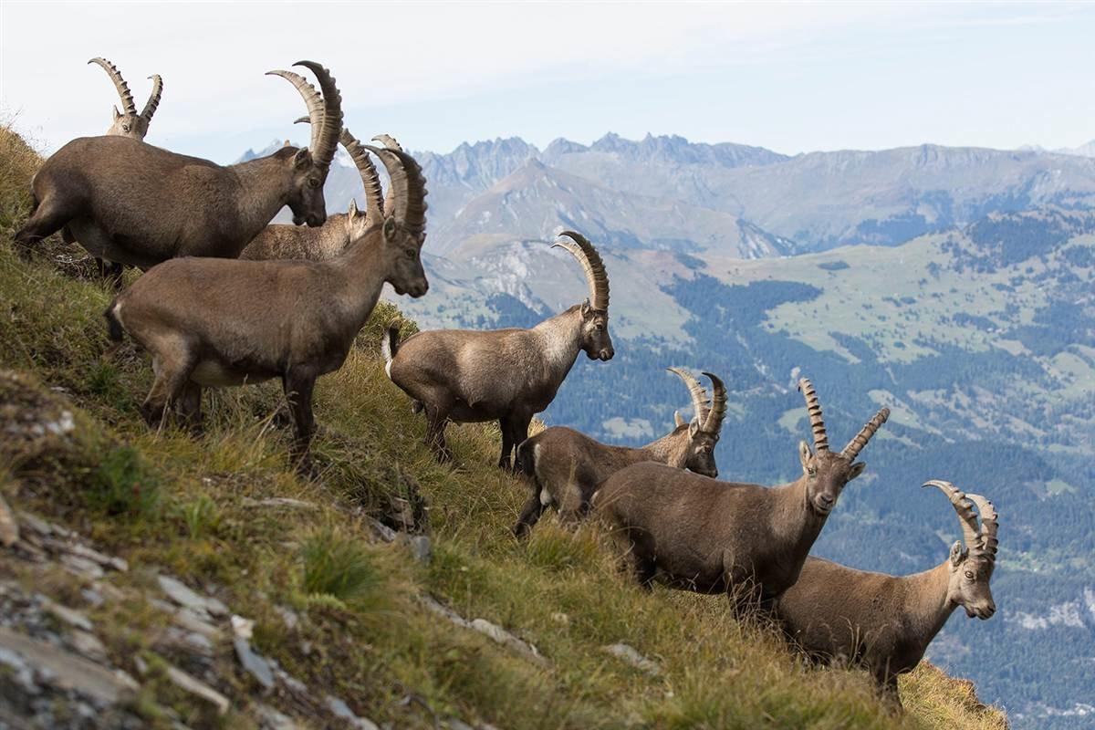 Животный мир Швейцарии фото