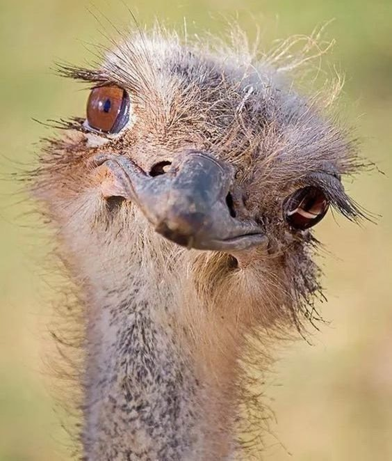 Для девочки, картинка страус прикол