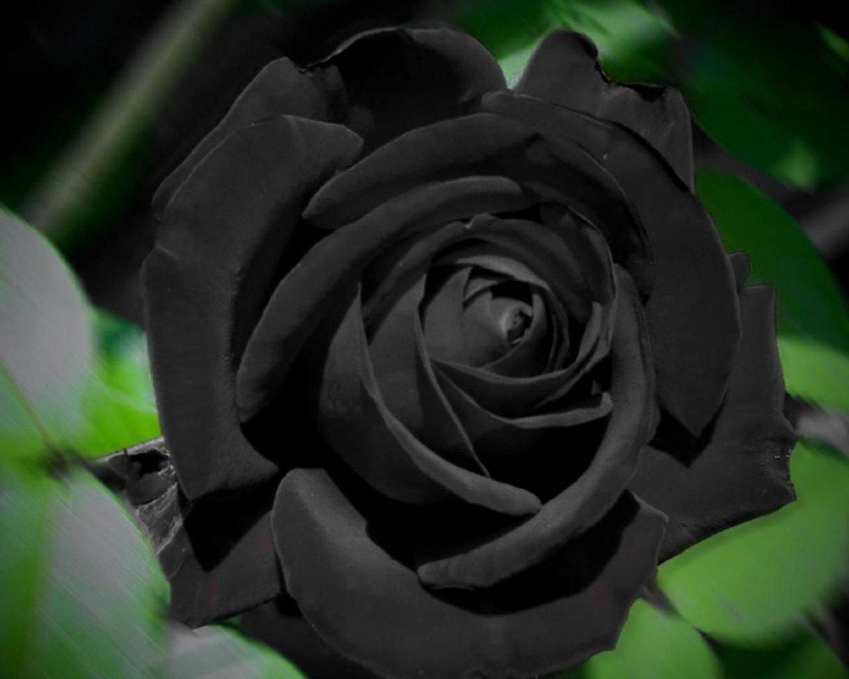 Смотреть картинки черной розы