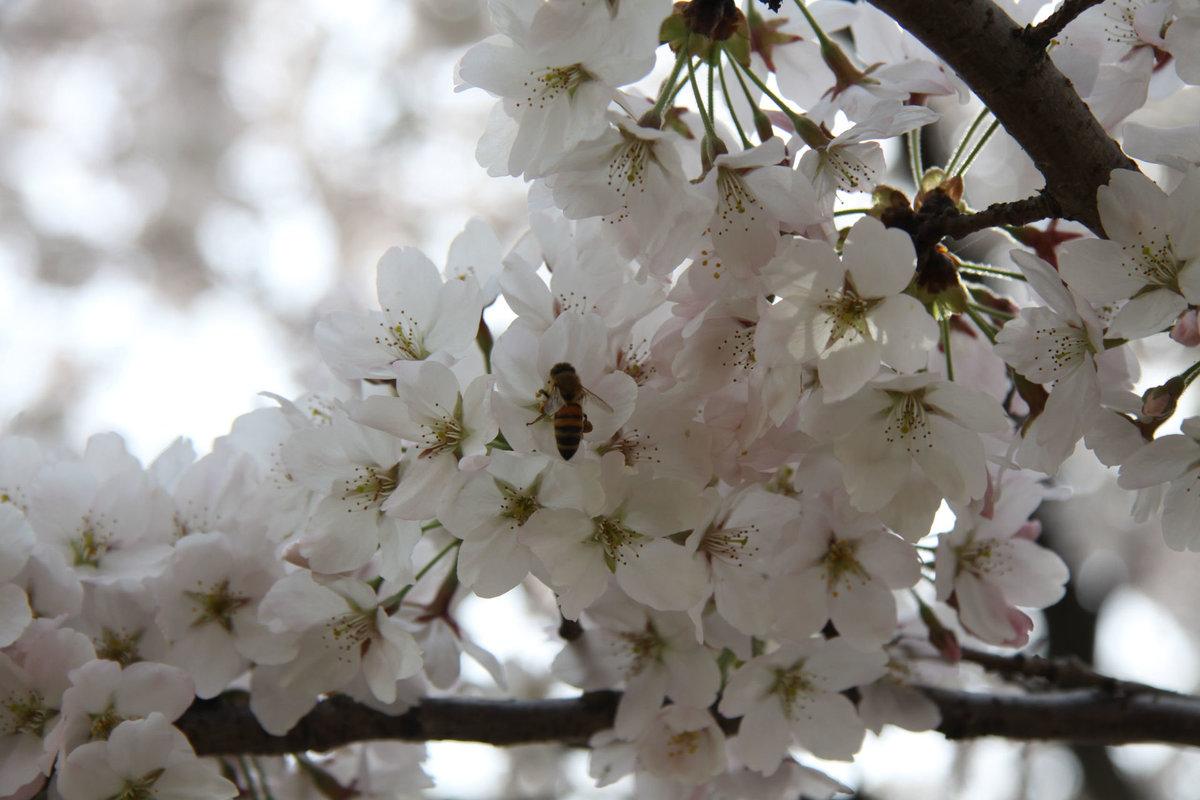Фото с цветущими вишнями начать всё