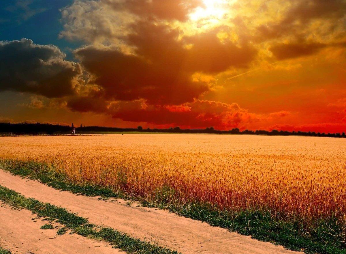 Картинки пшеничного поля на закате
