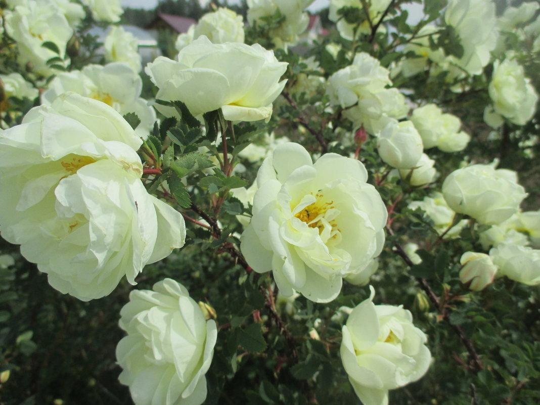 цветы чайная роза фото кустарник нашей планете