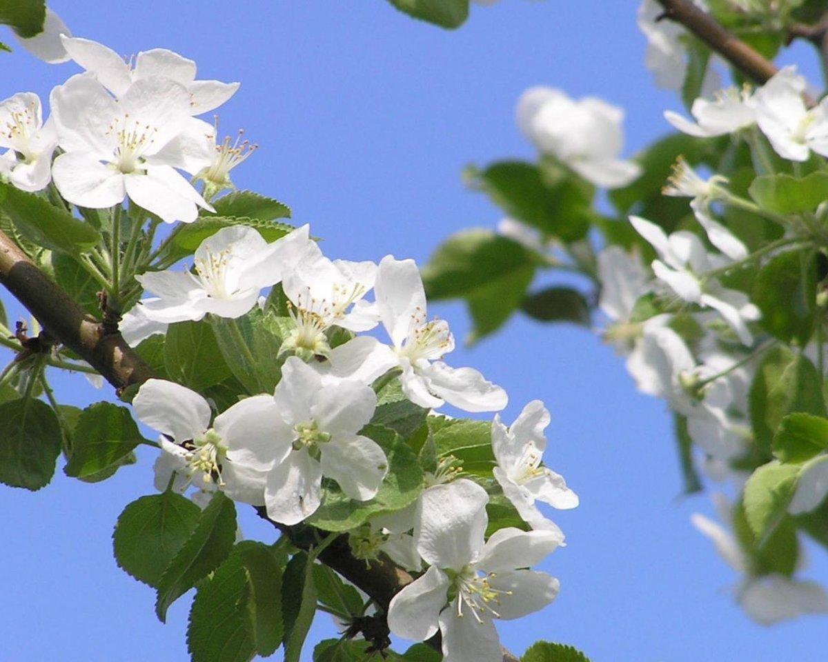 Фото цветущей яблони на голубом фоне