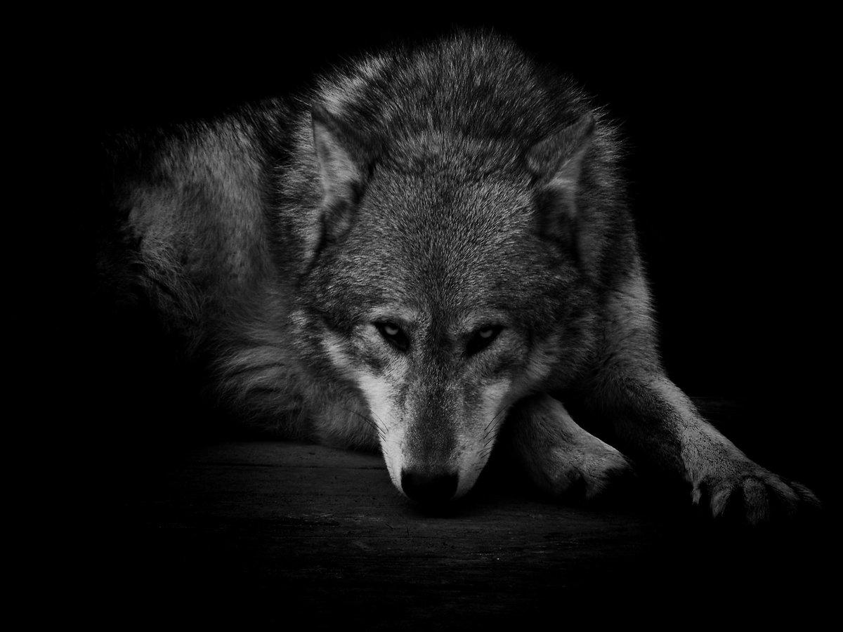 подойдут любому волк одиночка картинки колокольню