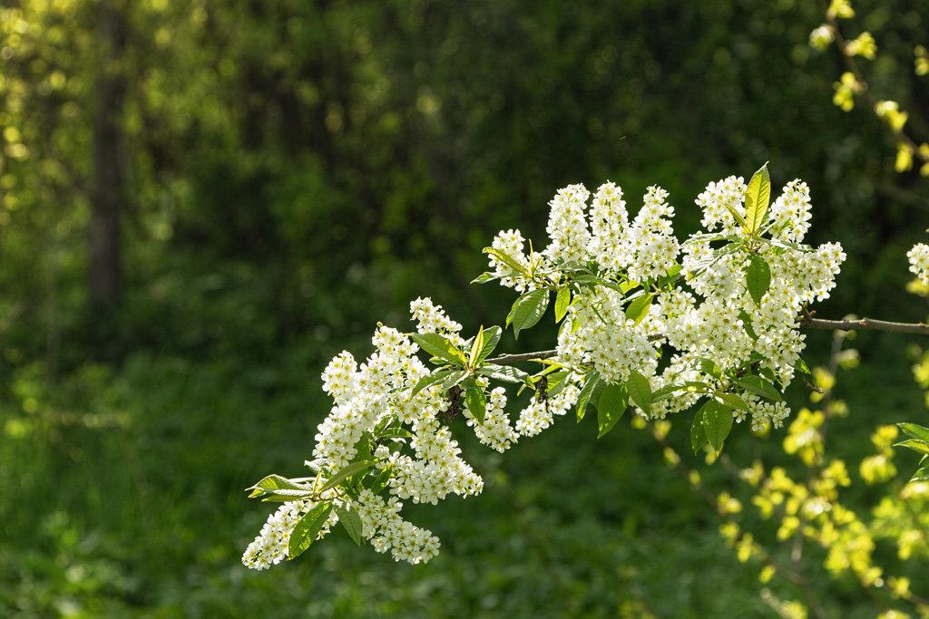 может картинки бурятия цветение черемухи певица
