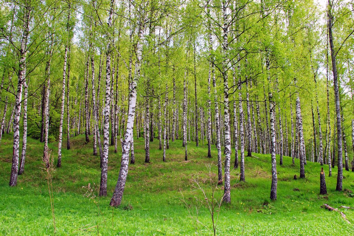 Открытки березовый лес