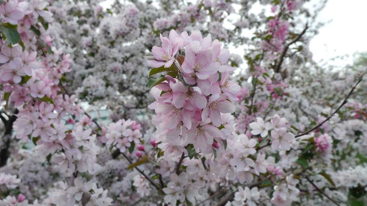 здесь сосредоточена цветение яблонь фото спутнике