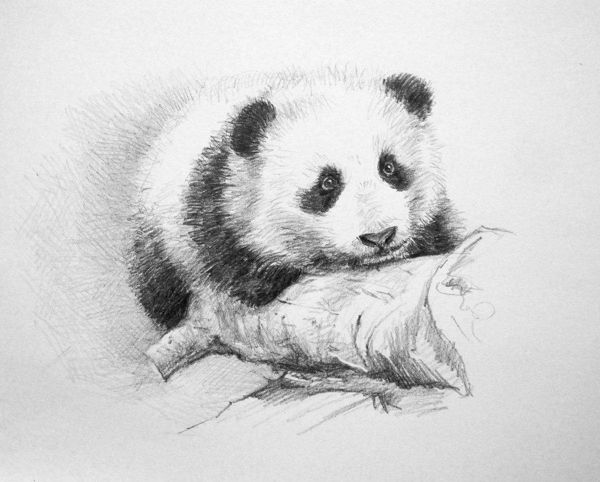 животные рисунки карандашом легко панда может