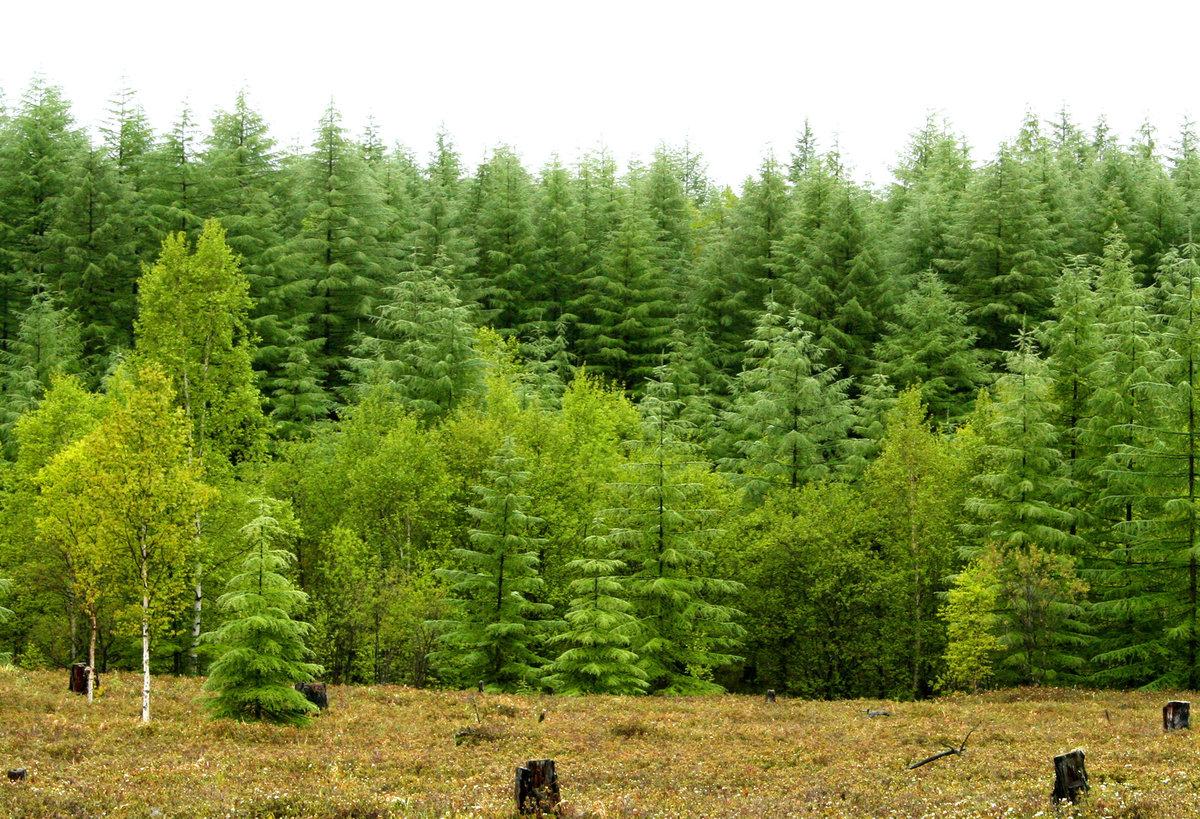 Картинка леса хвойного для детей