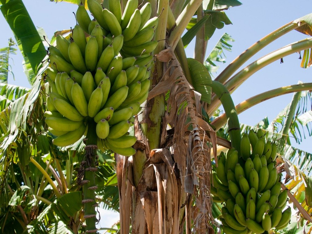 Картинка банановое дерево
