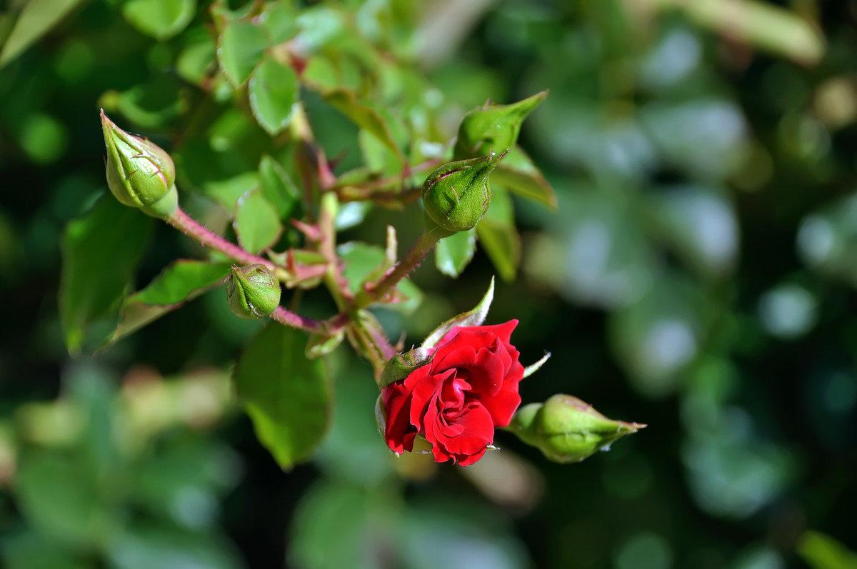 картинки с дикими розами просматривать панорамный вид
