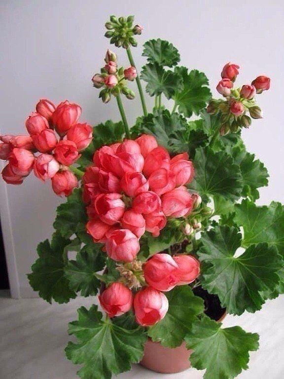 Где купить цветы герани тюльпановидной