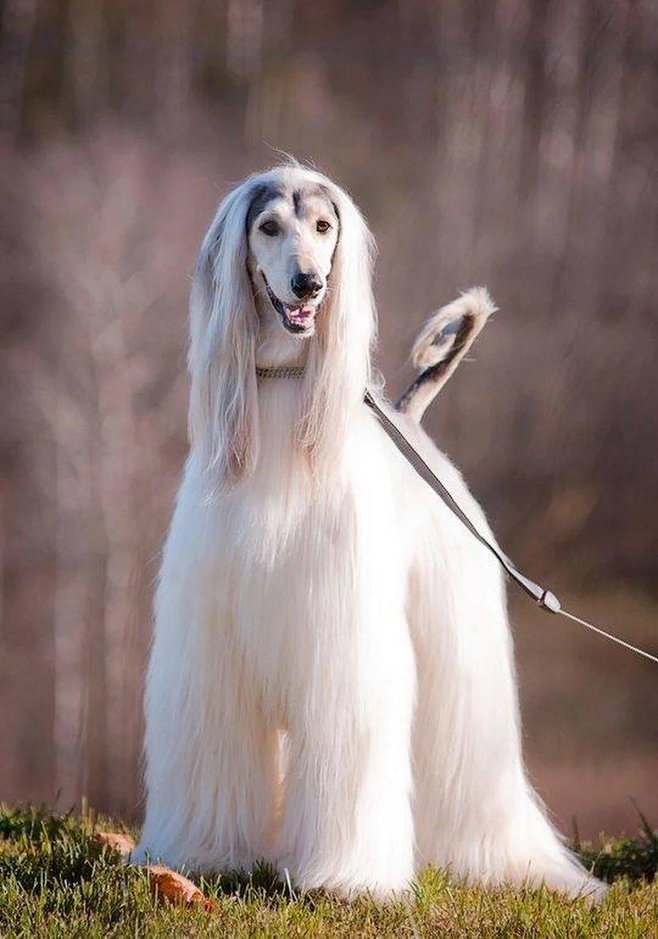 собаки с длинными мордами картинки или обменяю