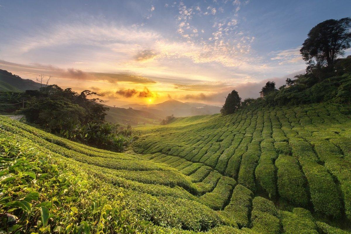 Картинки поле чай
