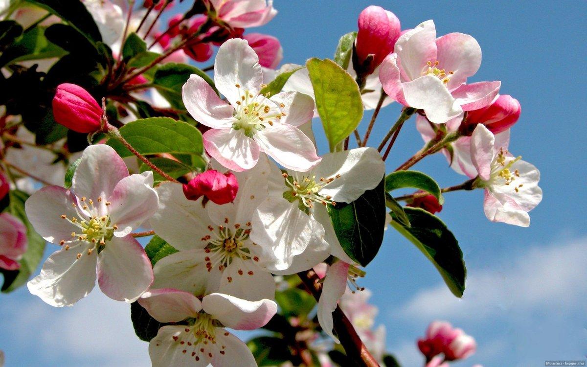 красивые картинки цветущих яблонь рыжая дама показывает