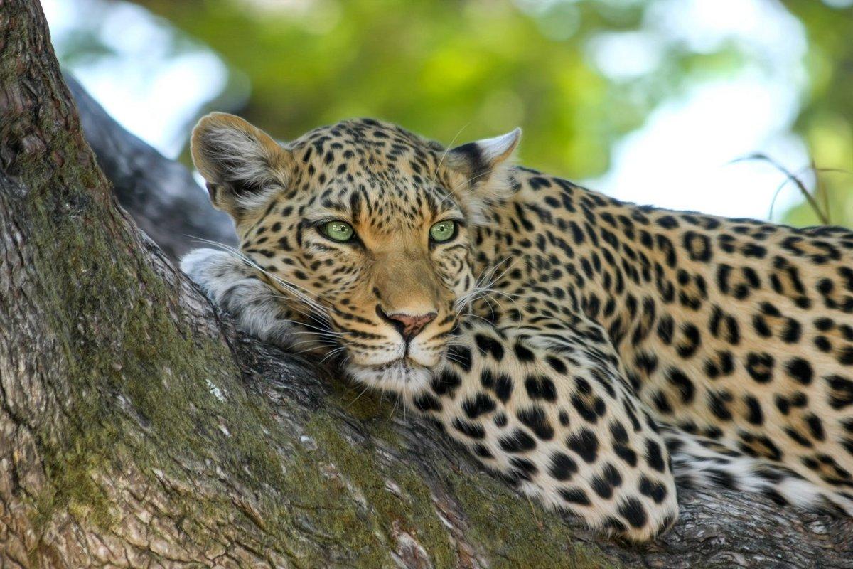 Картинки с леопардом в высоком разрешении
