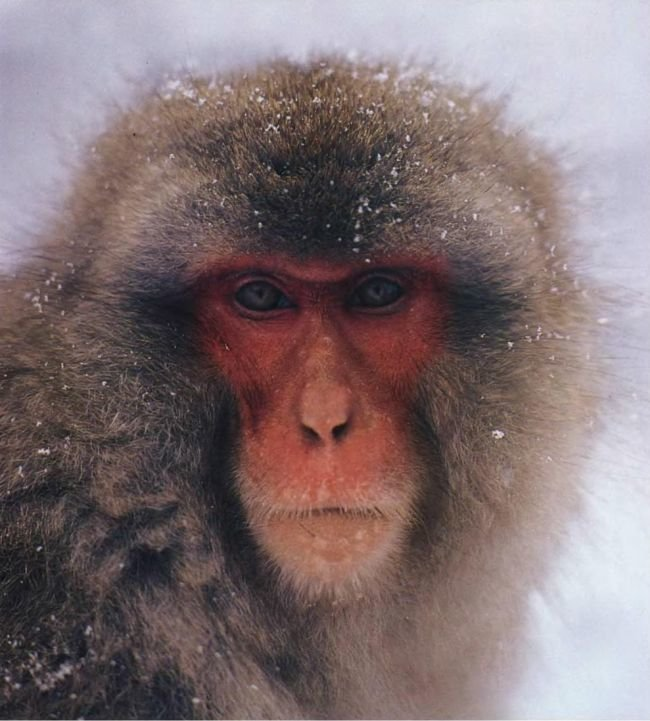 Японские макаки — редкая разновидность человекообразных обезьян. Живут они далеко от тропиков, обнаружены в Японии. Благодаря своему толстому меху они выдерживают зимой самые суровые морозы.