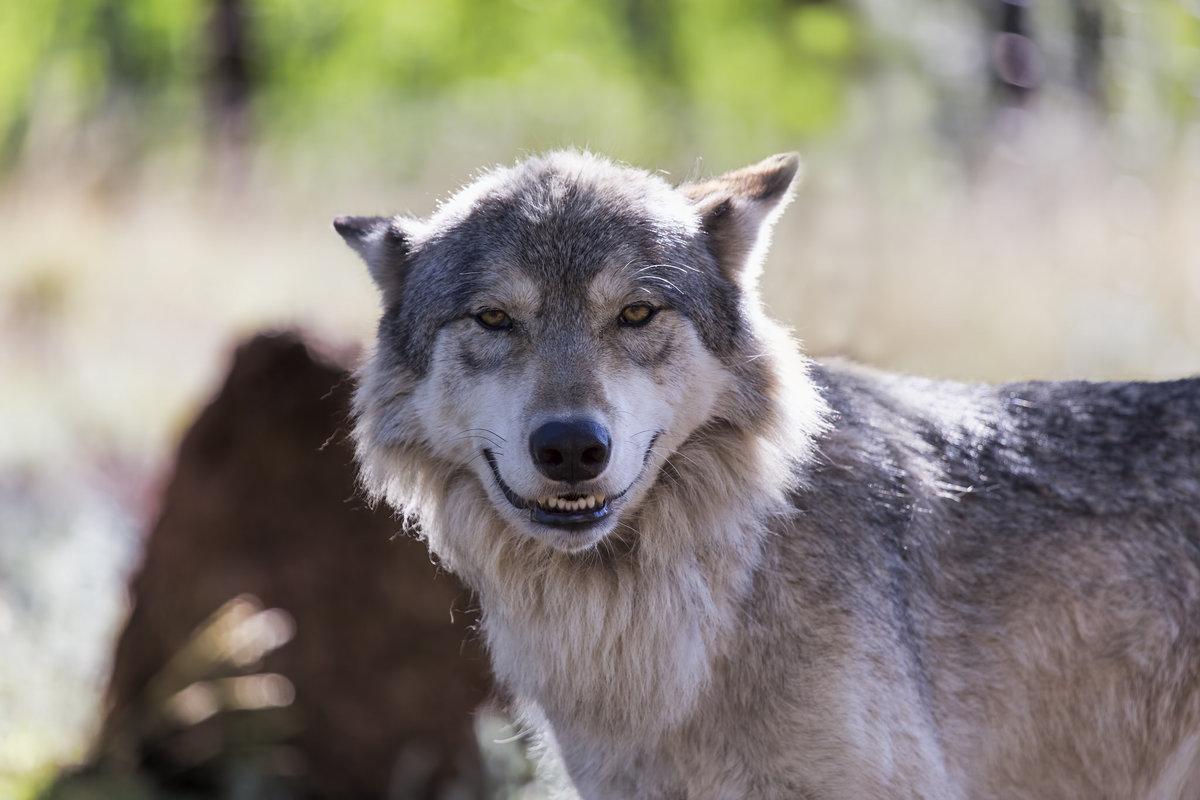 Картинки волки смешные