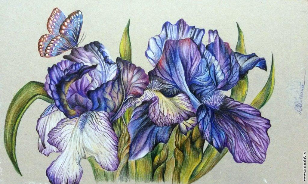 Картинки цветов нарисованные ирисы