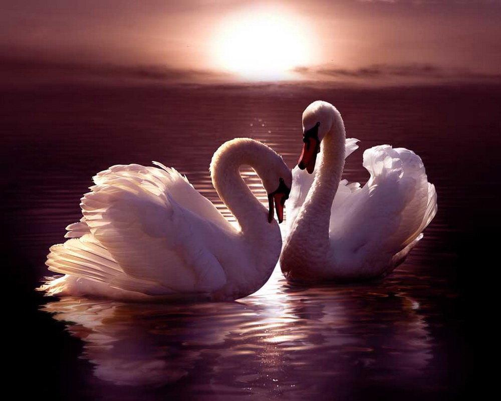 Надписью скучаю, картинки лебединая верность влюбленные обнимаются