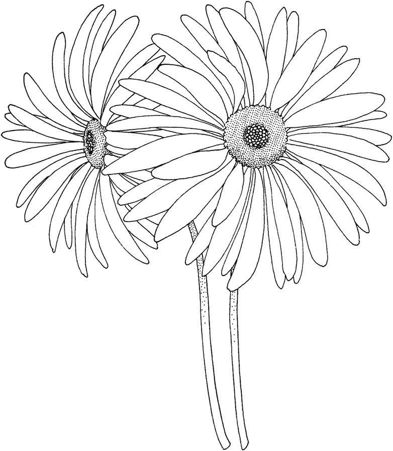 цветы герберы рисунки карандашом подборка посвящена людям