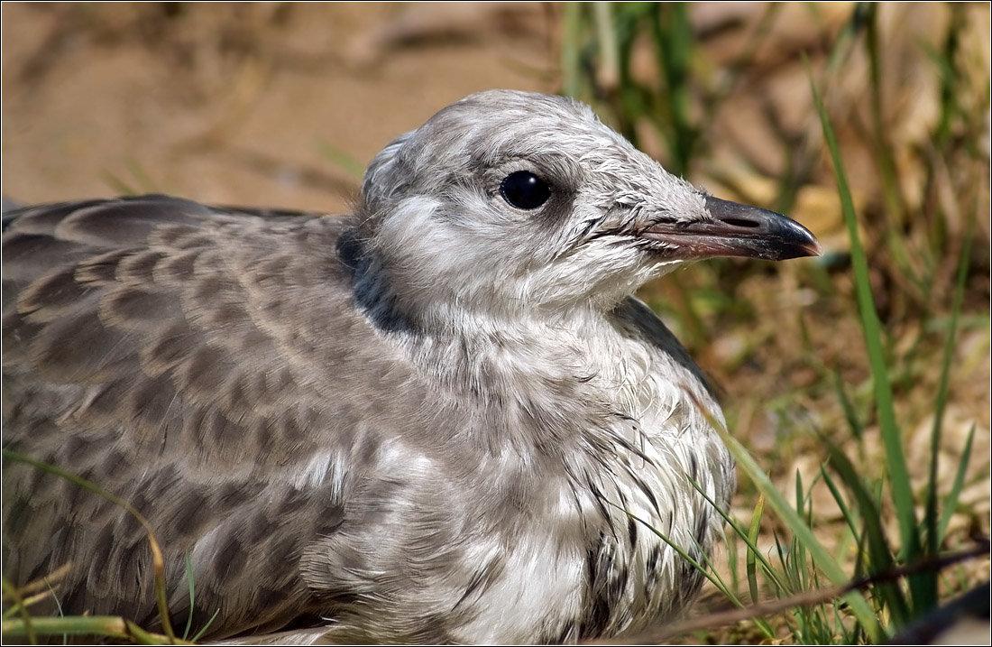 Чайка фото птицы птенец