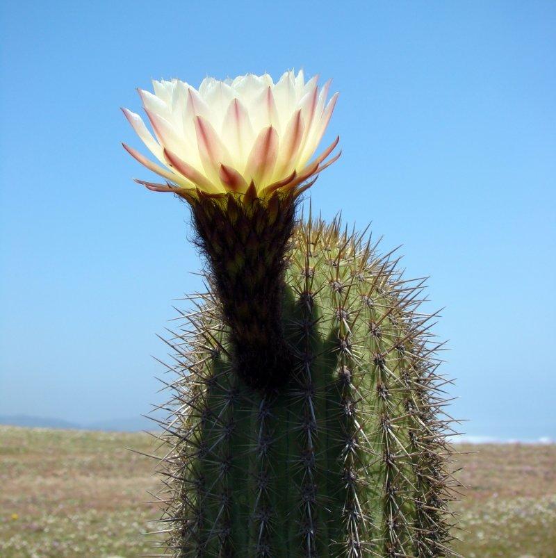 Картинки цветущие кактусы в пустыне